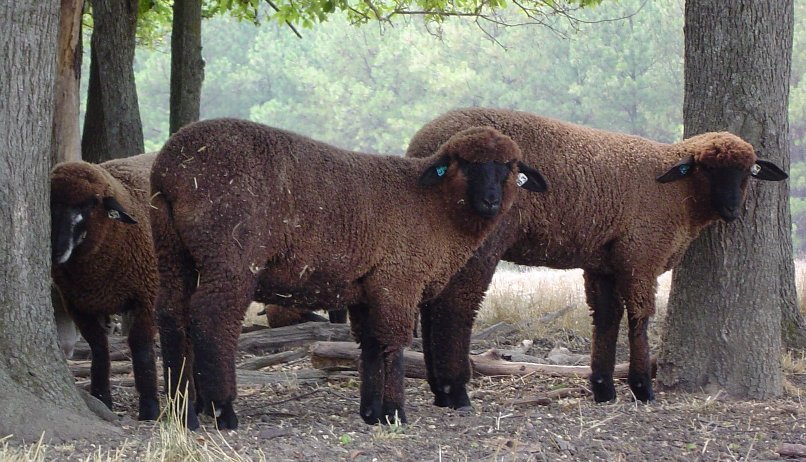 Natural Colored Sheep For Sale