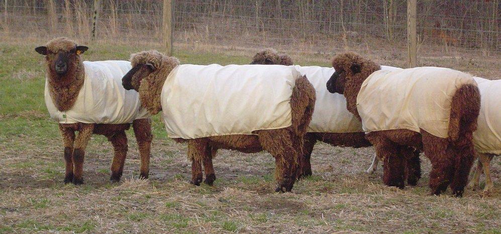گوسفند نژاد کوریدال/Corriedale sheep