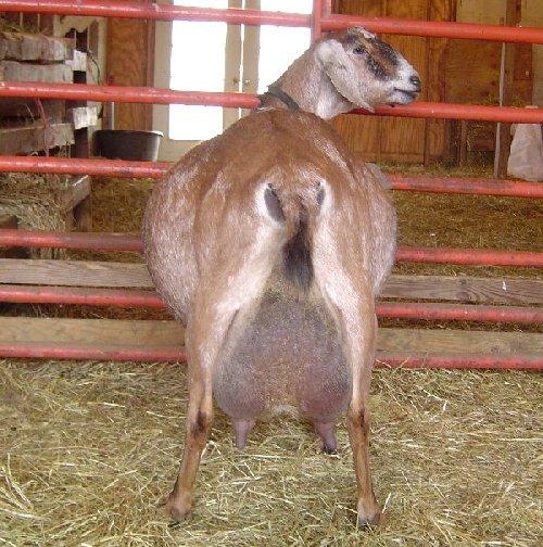 Purebred Nubian Dairy Goats